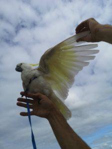 Flyvesele til papegøjer