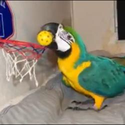 Basketball til papegøjer