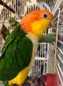 Miki på papegøje pension