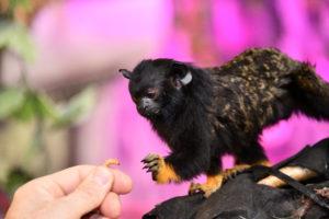 Gyldenhåndet tamarin