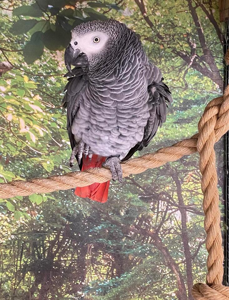 Bølle papegøje pension