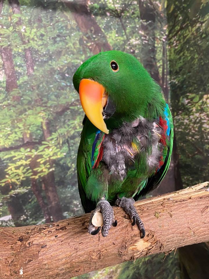 Ædelpapegøjen Viggo i papegøje pension