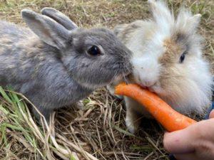 Håndfodring af kaniner