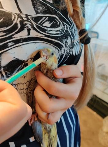 Håndopmaddet nymfeparakitter