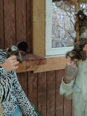 Håndfodring af hvidøret silkeaber