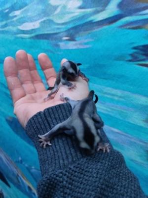 Håndfodring af flyveegern og aber