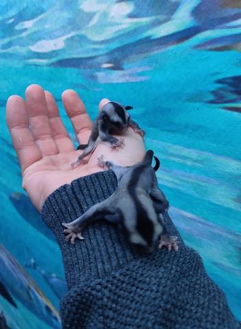 Håndfodring af flyve egern og aber