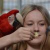 Håndfodring af ara
