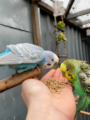 Håndfodring af undulater